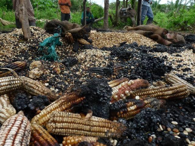 Unos 1500 kilos de maíz cosechado en Las Pavas por Asocab fueron quemados por empleados de la empresa Aportes San Isidro el 17 de septiembre de 2013